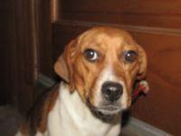 Beagle Puppies for sale in Kalamazoo, MI, USA. price: NA