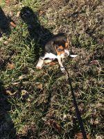 Beagle Puppies for sale in Granite City, IL, USA. price: NA