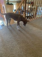 Beagle Puppies for sale in 1601 37th St S, St Cloud, MN 56301, USA. price: NA