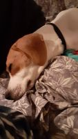 Beagle Puppies for sale in Goodlettsville, TN 37072, USA. price: NA