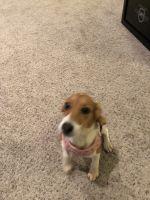 Beagle Puppies for sale in Foley, AL, USA. price: NA