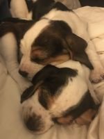 Beagle Puppies for sale in Fairfield, CT, USA. price: NA