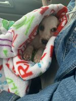 Beagle Puppies for sale in Savannah, GA, USA. price: NA