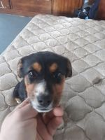Beagle Puppies for sale in Wooster, OH 44691, USA. price: NA