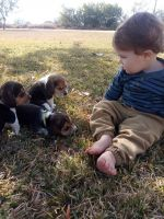 Beagle Puppies for sale in La Pryor, TX 78872, USA. price: NA