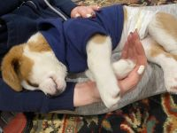 Beagle Puppies for sale in Thousand Oaks, CA 91362, USA. price: NA