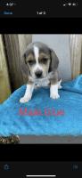 Beagle Puppies for sale in Columbus, GA, USA. price: NA