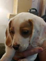Beagle Puppies for sale in Martinsville, IN 46151, USA. price: NA