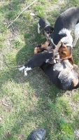 Beagle Puppies for sale in Parkersburg, WV, USA. price: NA