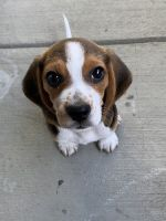 Beagle Puppies for sale in Oceanside, CA, USA. price: NA