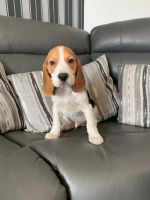 Beagle Puppies for sale in Seattle, WA, USA. price: NA