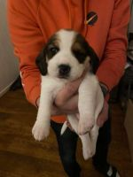 Beagle Puppies for sale in Bell Gardens, CA 90202, USA. price: NA