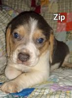 Beagle Puppies for sale in Paris, AR 72855, USA. price: NA