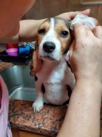 Beagle Puppies for sale in 620 W 135th St, New York, NY 10031, USA. price: NA