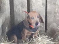 Beagle Puppies for sale in Moulton, AL 35650, USA. price: NA