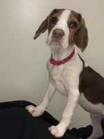 Beagle Puppies for sale in Oak Harbor, WA 98277, USA. price: NA