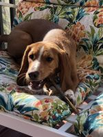 Beagle Puppies for sale in Monroe, NY 10950, USA. price: NA