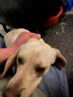 Beagle Puppies for sale in Manito, IL 61546, USA. price: NA