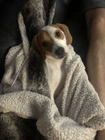 Beagle Puppies for sale in National Park, NJ 08063, USA. price: NA