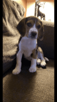 Beagle Puppies for sale in Brooklyn Park, MD, USA. price: NA