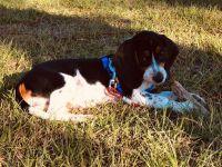 Beagle Puppies for sale in Cumming, GA, USA. price: NA