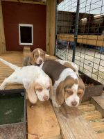 Beagle Puppies for sale in Winchester, KY 40391, USA. price: NA