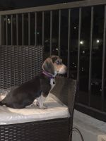 Beagle Puppies for sale in Temecula, CA, USA. price: NA
