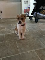 Beagle Puppies for sale in Jacksonville, NC, USA. price: NA