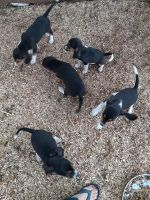 Beagle Puppies for sale in Forest, VA, USA. price: NA