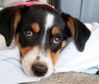 Beagle Puppies for sale in Hilliard, OH 43026, USA. price: NA
