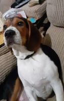 Beagle Puppies for sale in Hanover, PA 17331, USA. price: NA