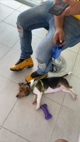 Beagle Puppies for sale in Sanford, FL, USA. price: NA