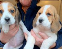 Beagle Puppies for sale in Atlanta, GA, USA. price: NA