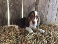 Beagle Puppies for sale in West Liberty, KY 41472, USA. price: NA