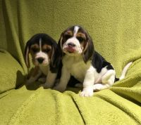 Beagle Puppies for sale in Texarkana, TX, USA. price: NA