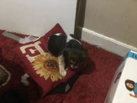 Beagle Puppies for sale in New Britain, CT, USA. price: NA