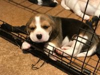 Beagle Puppies for sale in Virginia City, NV 89440, USA. price: NA