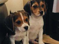 Beagle Puppies for sale in Arizona City, AZ 85123, USA. price: NA