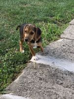 Beagle Puppies for sale in Akron, OH, USA. price: NA