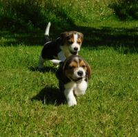 Beagle Puppies for sale in Texas City, TX, USA. price: NA