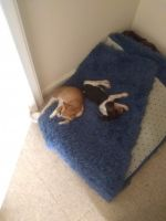 Beagle Puppies for sale in Mars Hill, NC 28754, USA. price: NA