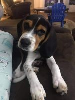 Beagle Puppies for sale in Anderson, IN, USA. price: NA