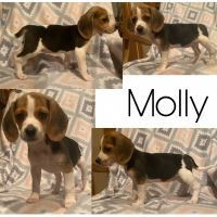 Beagle Puppies for sale in Golden City, MO 64748, USA. price: NA