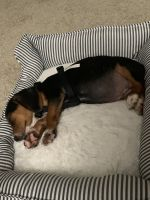 Beagle Puppies for sale in Lawrence Township, NJ, USA. price: NA