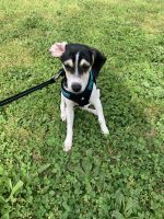 Beagle Puppies for sale in New York, NY 10028, USA. price: NA