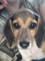 Beagle Puppies for sale in Indianapolis, IN, USA. price: NA
