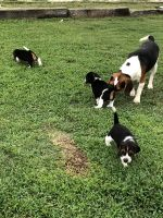 Beagle Puppies for sale in Greer, SC, USA. price: NA