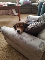 Beagle Puppies for sale in Vineland, NJ, USA. price: NA