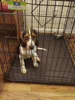 Beagle Puppies for sale in Charlotte, NC 28270, USA. price: NA