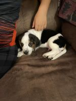 Beagle Puppies for sale in Mays Landing, Hamilton Township, NJ 08330, USA. price: NA